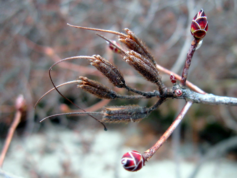 Photo of Clammy Azalea fruits