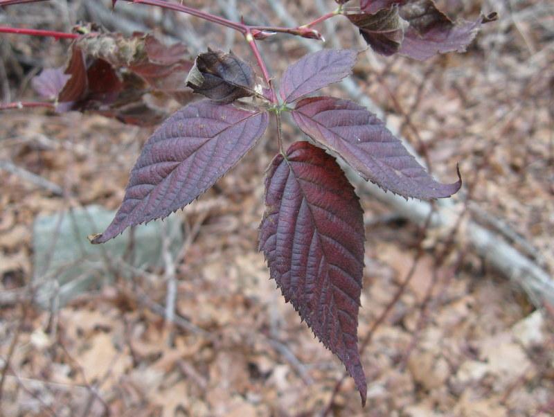Photo of Common Blackberry leaf