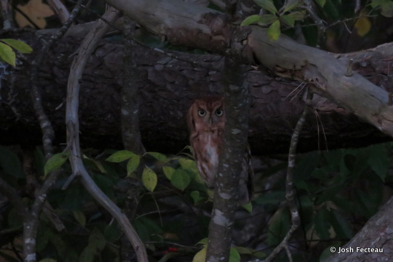 Photo of Eastern Screech-Owl