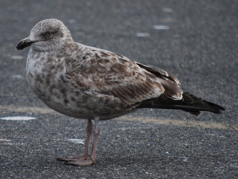 Photo of Herring Gull (1st winter)
