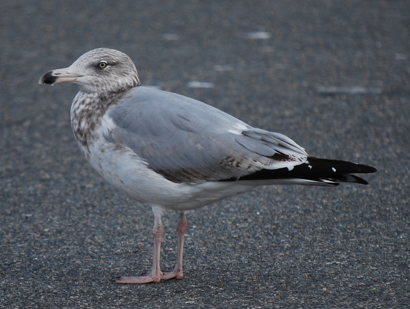 Photo of Herring Gull (3rd winter)