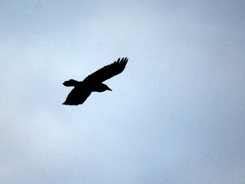 Photo of Common Raven in flight