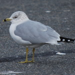 Photo of Ring-billed Gull (adult)