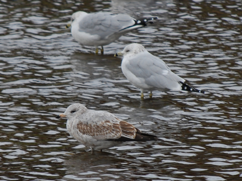 Photo of Ring-billed Gull (immature)