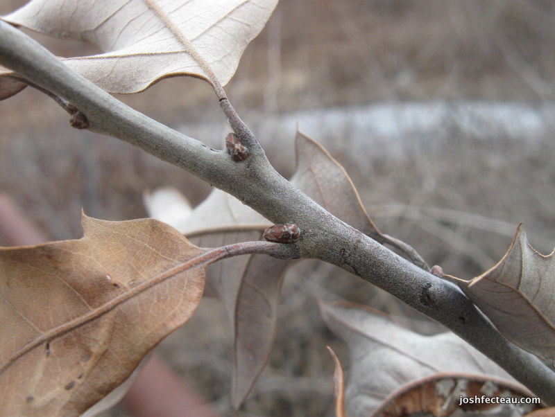 Photo of Scrub Oak leaves and twig