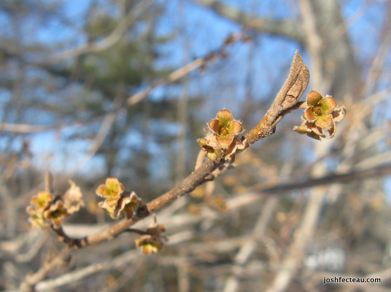 Photo of American Witch-hazel