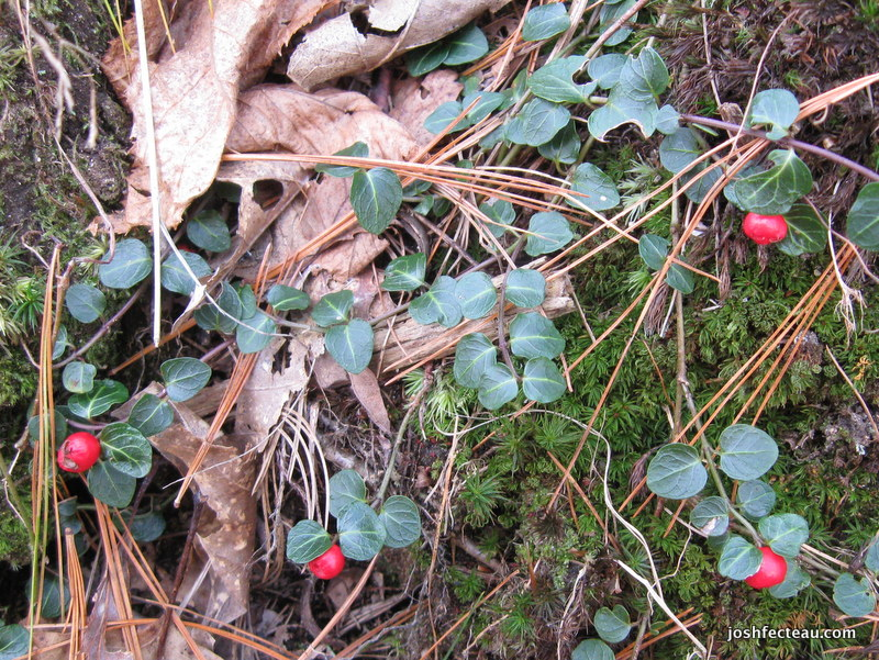 Photo of Partridge-berry Fruit
