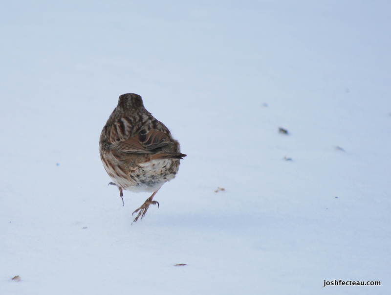 Photo of Song Sparrow 1