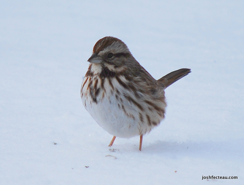 Photo of Song Sparrow 2