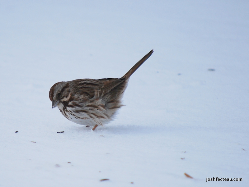 Photo of Song Sparrow 3