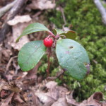 Photo of Eastern Spicy Wintergreen
