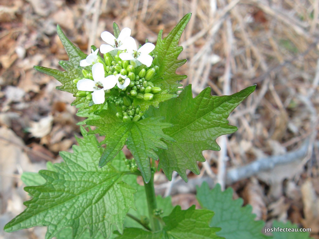 Photo of Garlic-mustard Flowers