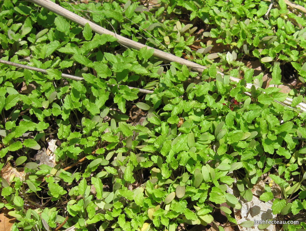 Photo of Garlic-mustard Seedlings