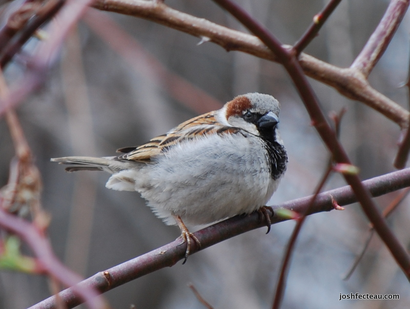 Photo of House Sparrow male