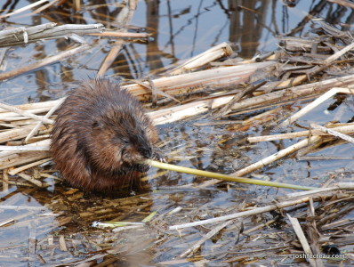 Photo of Common Muskrat