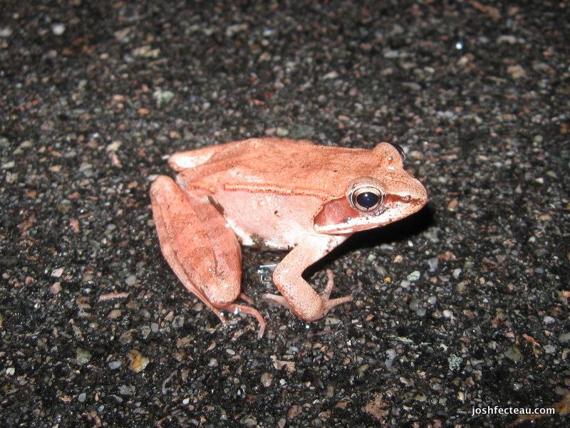 Photo of Wood Frog