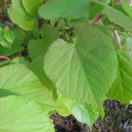 Photo of American Linden leaves