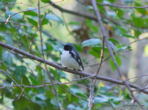 Photo of Black-throated Blue Warbler