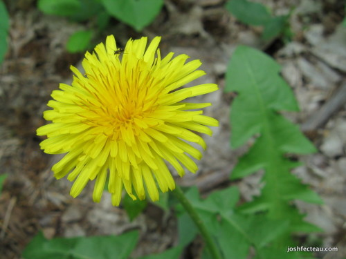 Photo of Common Dandelion
