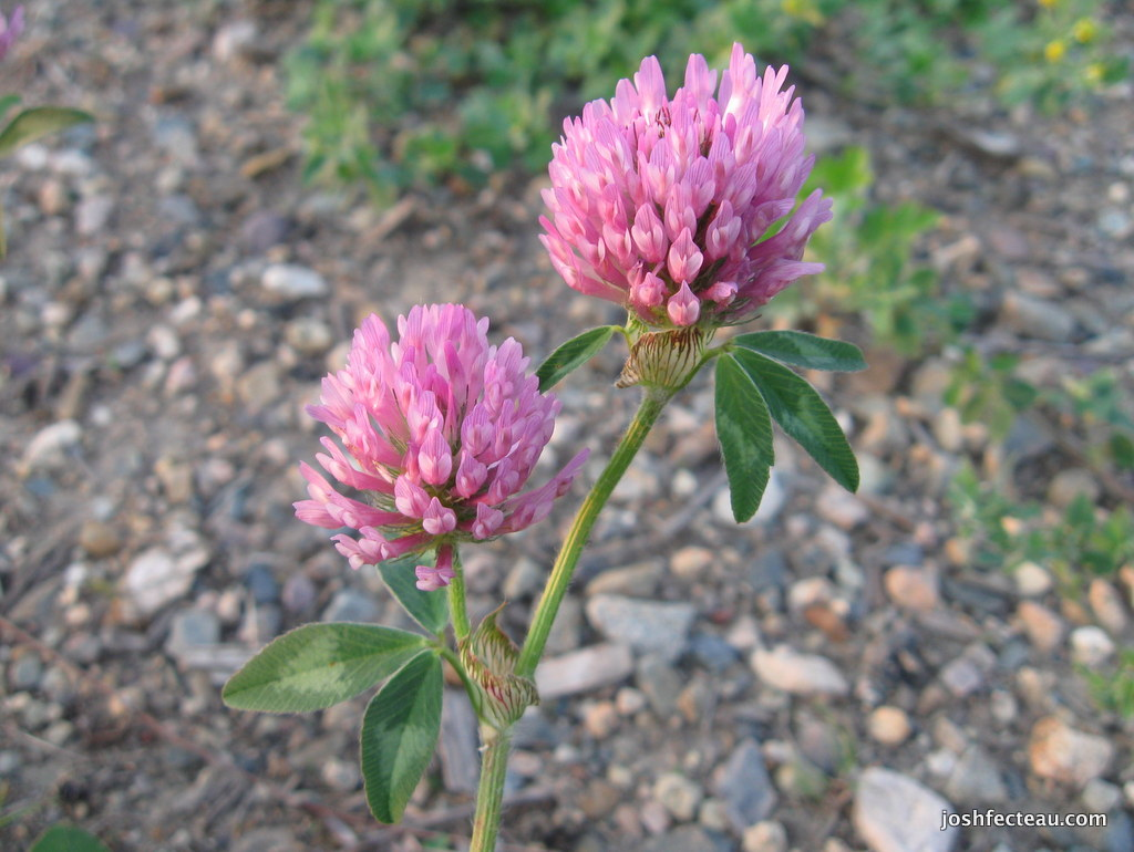 Photo of Red Clover