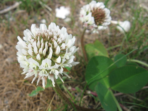 Photo of White Clover flower