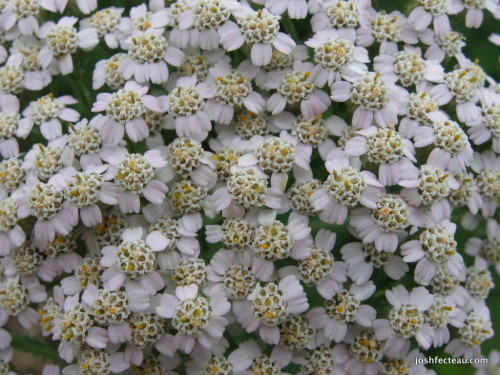 Photo of Common Yarrow flowers