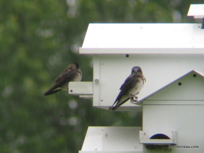 Photo of Purple Martins