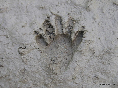 Photo of Raccoon track