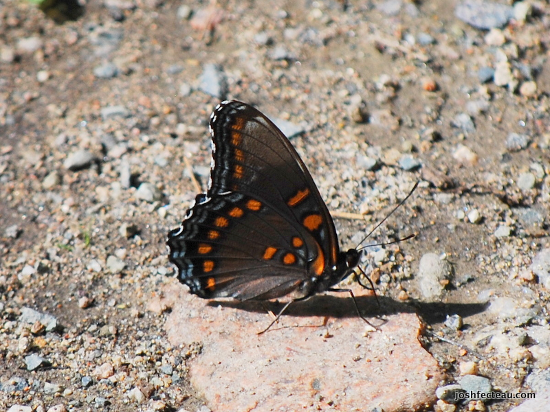 Photo of Red Spotted Purple