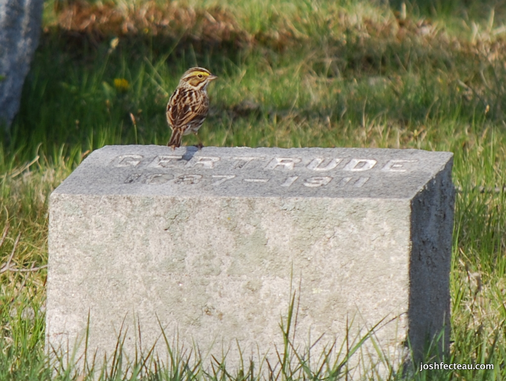 Photo of Savannah Sparrow on stone