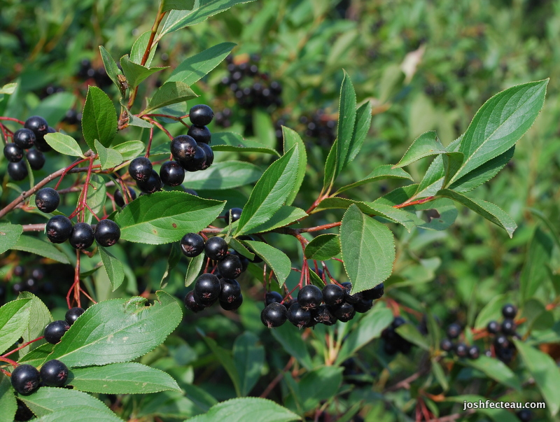 Translations Into Italian: Foraging Wild Fruit: Black Chokeberry