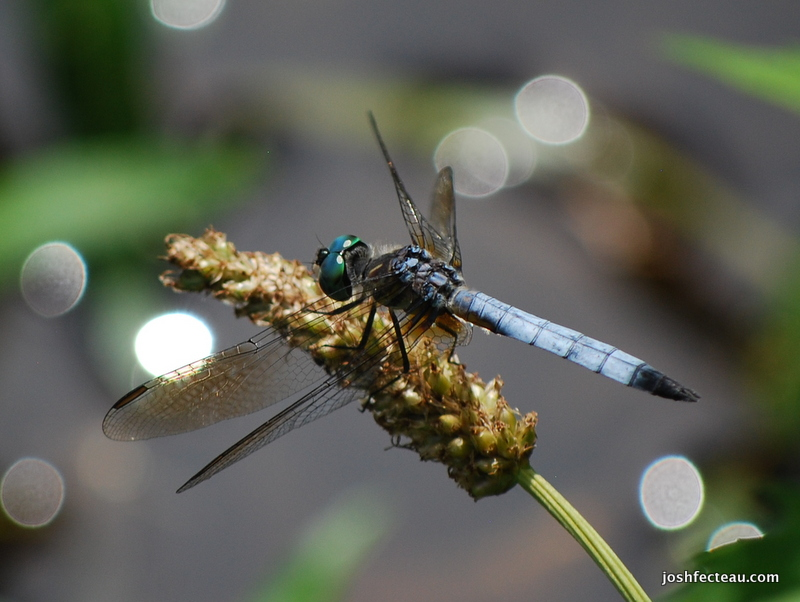 Photo of Blue Dasher (male)