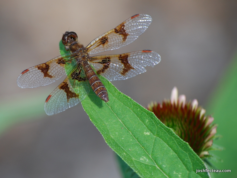Photo of Eastern Amberwing female