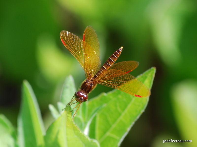 Photo of Eastern Amberwing male