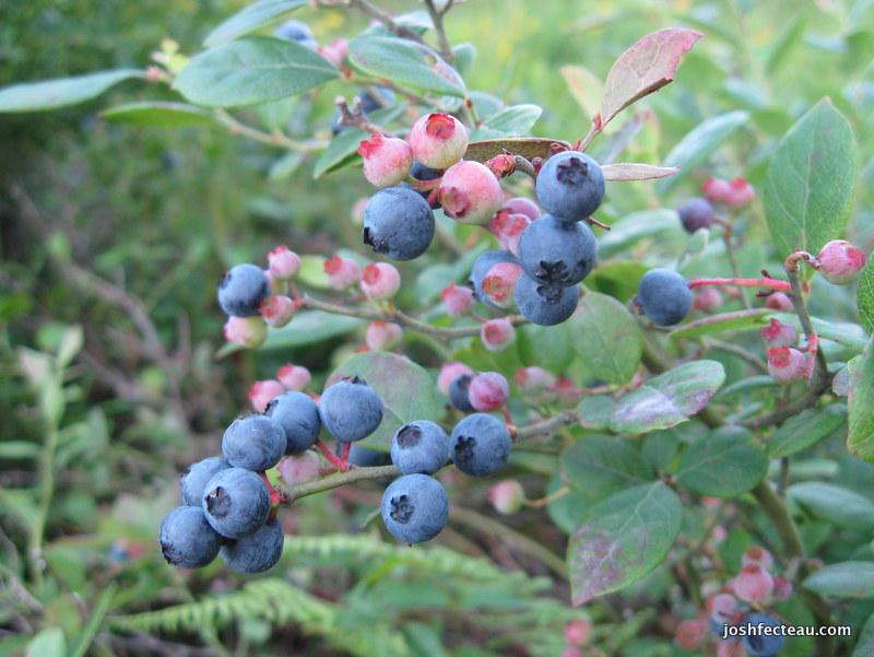 Photo of Hillside Blueberry