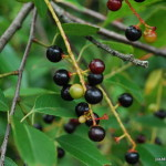 Photo of Black Cherry (Prunus serotina)