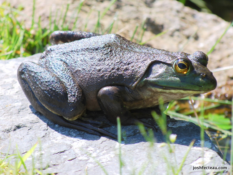 Photo of Bullfrog