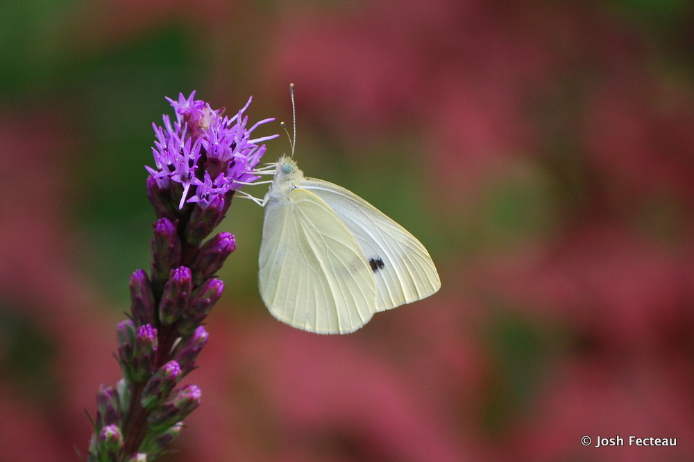 Photo of Cabbage White