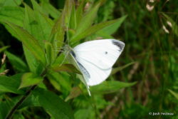 Photo of Cabbage White (male)
