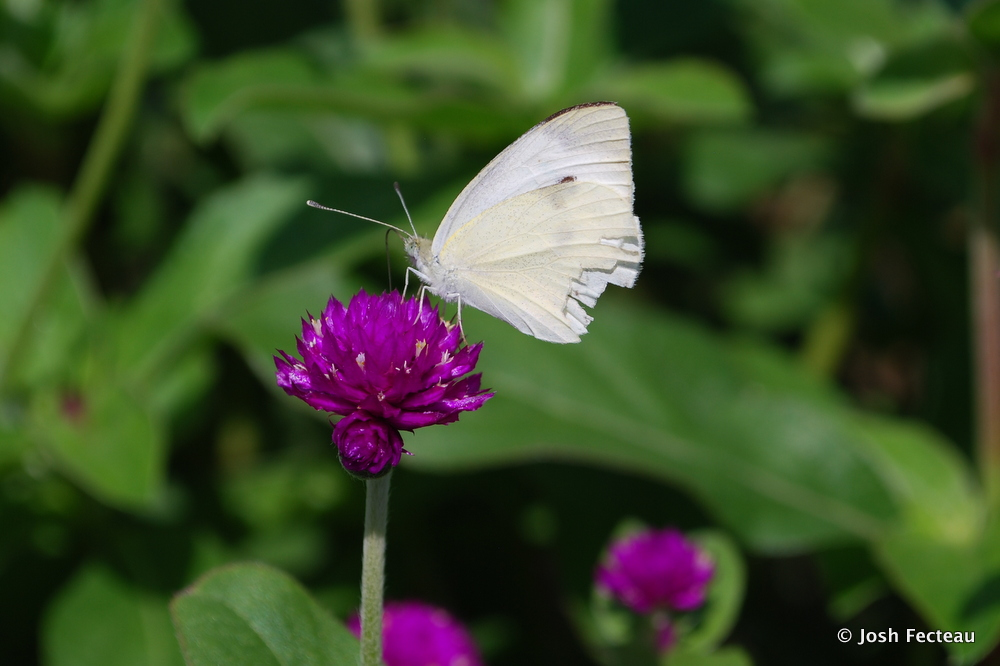 Photo of worn Cabbage White