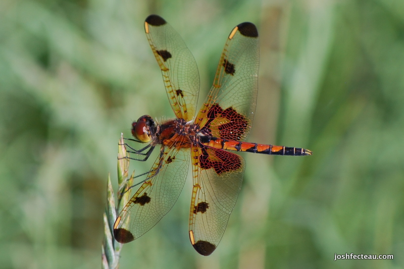 Photo of Calico Pennant (imm. male)