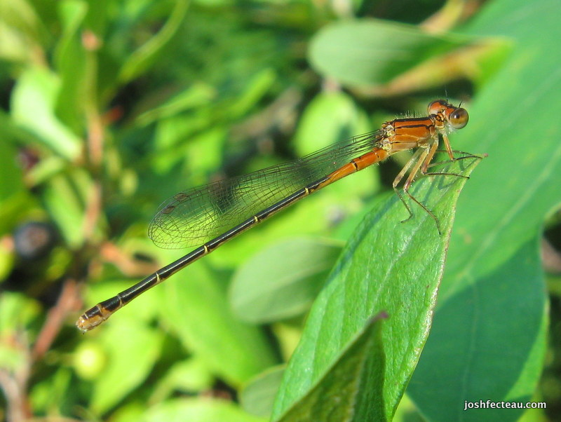 Photo of Eastern Forktail (female)