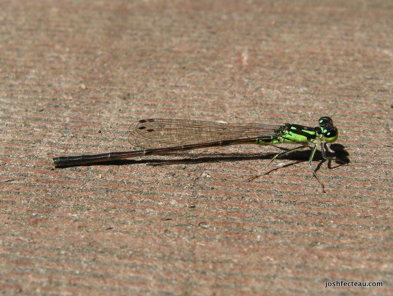 Photo of Fragile Forktail (male)