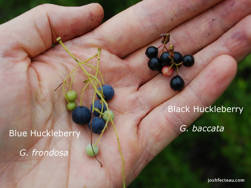 Photo of Black and Blue Huckleberry Comparison