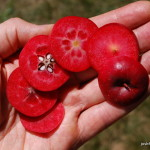 Photo of Red-flesh Apple