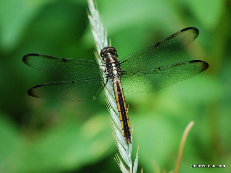 Photo of Slaty Skimmer (female)