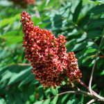 Photo of Smooth Sumac cluster