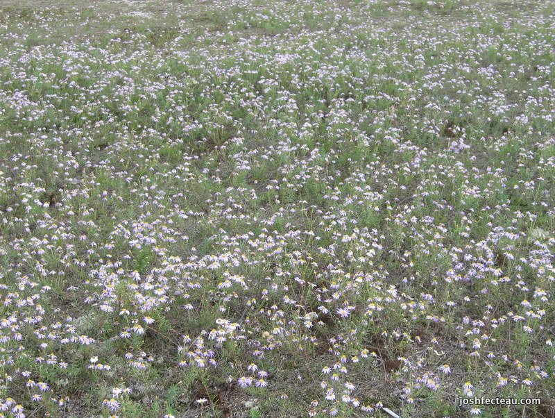 Photo of Flax-leaved Stiff-aster