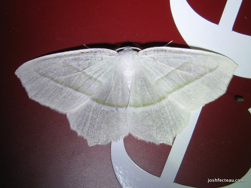 Photo of Pale Beauty (Campaea perlata)
