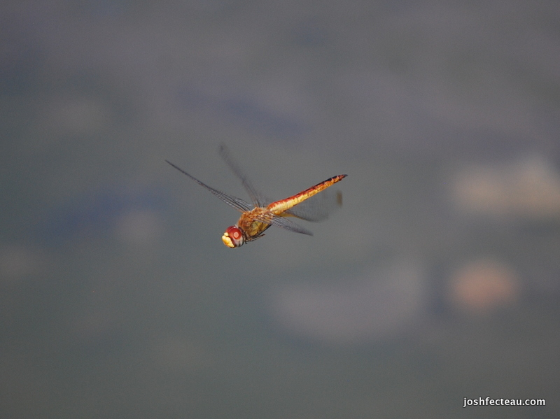 Photo of Wandering Glider